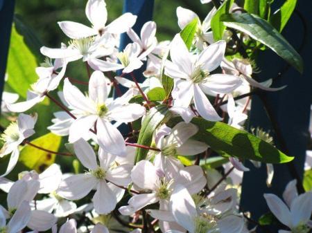 les clématites du jardin Atlantique