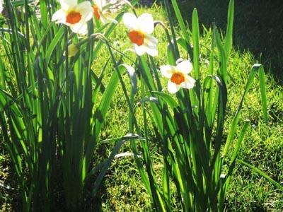 narcisses un matin de printemps