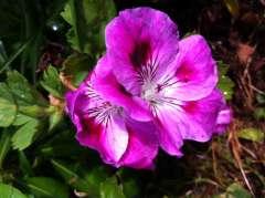 les fleurs comme des papillons photo Marie Belin mai 2014.jpg
