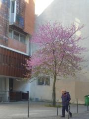 rue du Moulin Vert un arbre au fleurs bleues- mauves .jpg