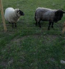 moutons à Notre- Dame de Bon Secours photo polbrine 2.jpg