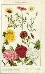 chrysanthèmes planche.jpg
