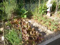Vert tige salades pieds de tomates P1020117 - Copie.jpg