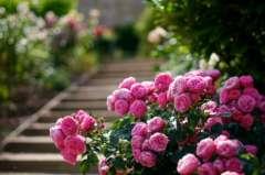 les rosiers du jardins de l'aqueduc.jpg