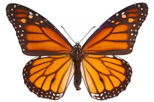 papillon-monarque.jpg