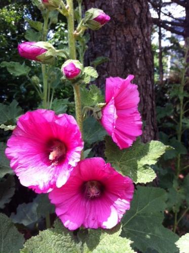 les roses trémières au jardin Atlantique.jpg