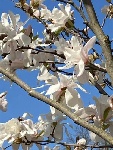 fleurs blanches arbre fruitier 2021 photo  marie belin.jpg