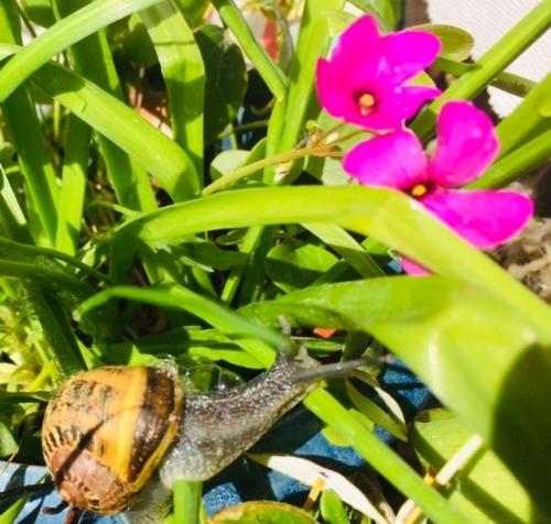 un petit escargot s'invite dans mes fleurs.jpg