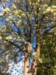 les acacias en fleurs place de Catalogne photo Marie Belin 2.JPG