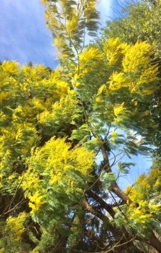 mimosas arbres en fleurs avec le vent photo Marie belin fév 2019.jpg