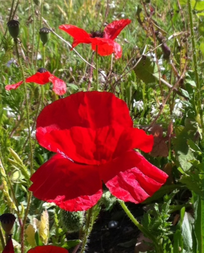 la beauté du coquelicot photo Marie belin avril 2017.JPG