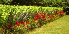 roses et vignes figaro.jpg