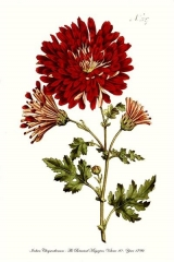 chrysanthèmes planche. collection de  Cels jpg.jpg