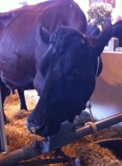 Salon de l'agriculture 2015 la vache Filouze.JPG