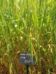 visite d'un jardin de céréales Florimont 18 au 22 mai 2016.jpeg