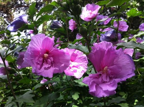 les bouquets de Marie au jardin atlantique photo Marie Belin  juin 2017.jpg