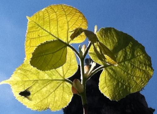 premières feuilles , la vie recommence photo Marie Belin avril 2017.JPG
