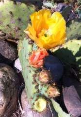 cactus en fleurs photo Marie Belin juin 2014.jpg