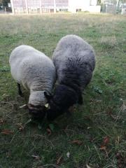 moutons à Notre-Dame de Bon-Secours photo Paul.jpg