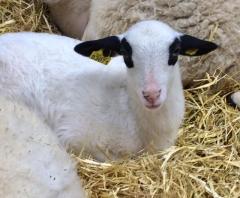 salon de l'agriculture 2019 agneau du lot.jpg