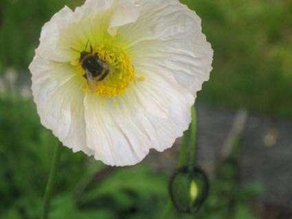 pavot avec une abeille M Belin.JPG