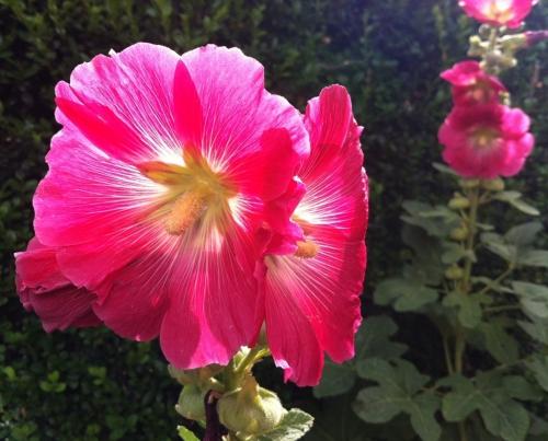 les roses trémières au jardin Atlantique photo Marie Belin fin juin 2017.jpg