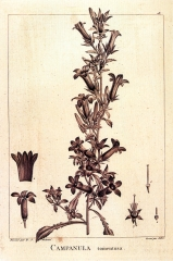 Cels planche de Pierre- joseph redouté 1799 Campanula_tomentosa.jpg