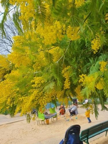 les mimosas  près de la Mairie du 14ème.jpg