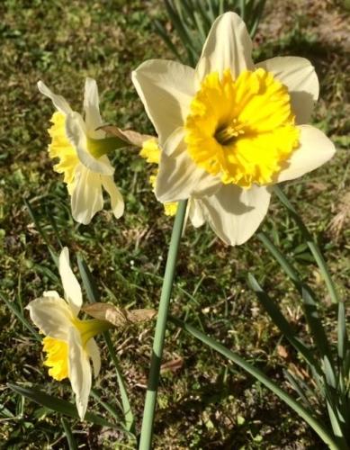 le printemps en hiver narcisses photo Marie Belin février 2019.jpg