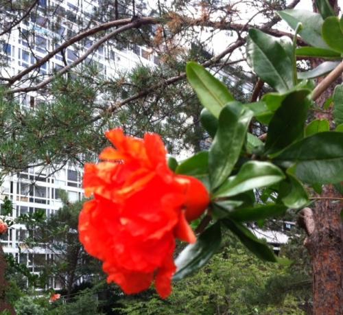 fleur de Grenadier au jardin Atlantique près des immeubles Mouchotte photo Marie Belin juin 2017.jpg