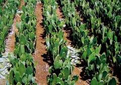 champs de cactus, le cactus se mange.JPG