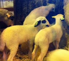 Salon de l'agriculture 2015 les petits agneaux  prêts à escalader  photo Marie Belin février 2015.JPG