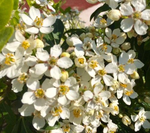 photo marie belin avril 2020 fleurs d'oranger.jpg