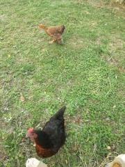 poules à notre-dame de bon secours photo polbrine.jpg